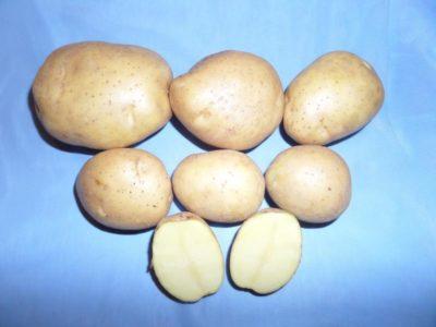 сорт картофеля уладар