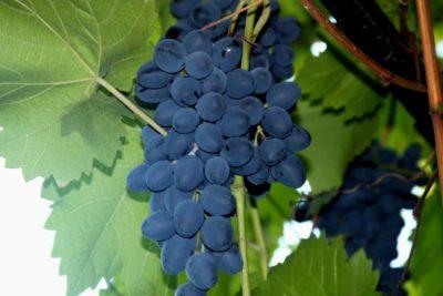 сорт винограда дунав
