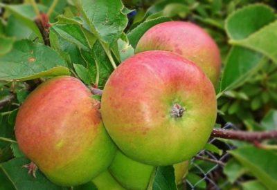сорт яблок боровинка