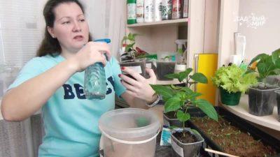полив рассады марганцовкой