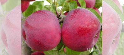 сорт яблони медуница