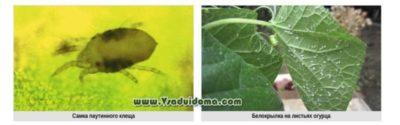 капустные вредители и борьба с ними