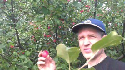 удобрение яблонь осенью