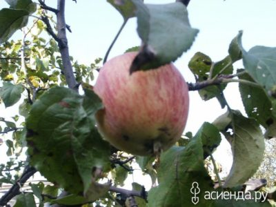 черный принц сорт яблок