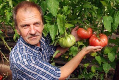 можно ли класть навоз под помидоры