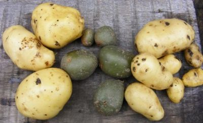 посадка картофеля на рассаду семенами