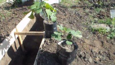 как посадить виноград в сибири весной