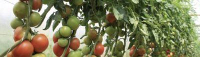 чем удобрять помидоры во время цветения и завязывания плодов