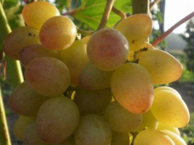 сорта винограда для самарской области