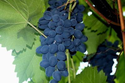 сорт винограда красностоп