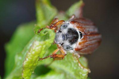 майский жук вредитель или нет