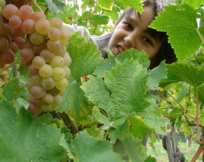 сорт винограда ананасный