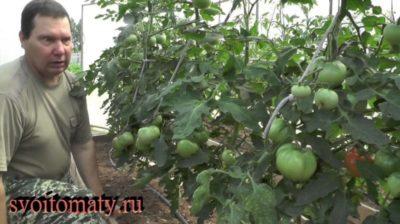когда можно обрезать листья у томатов