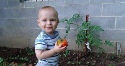 как прививать помидоры