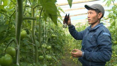 как рыхлить помидоры в теплице