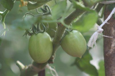 опадает цвет у помидоров в теплице что делать