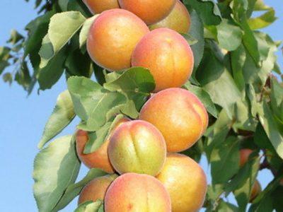 колоновидные сорта плодовых деревьев