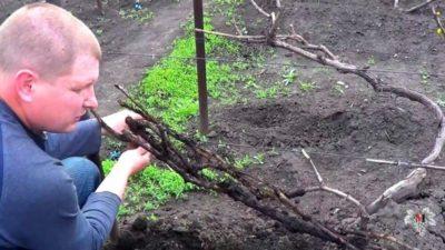 как укрыть виноград