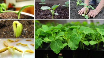 как садить кукурузу на рассаду