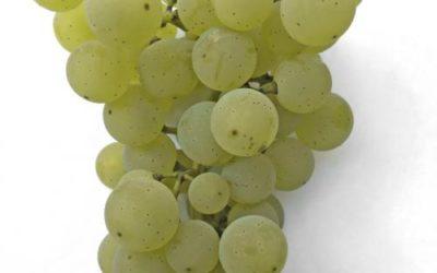 сорт винограда ришелье