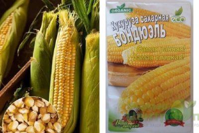 кукуруза бондюэль сорт