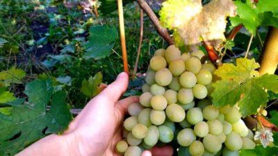 полив винограда во время цветения