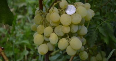 сорта винограда для северо запада
