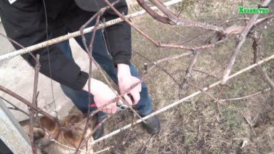 как правильно обрезать виноград осенью схема