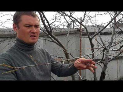 уход за яблоней весной в сибири