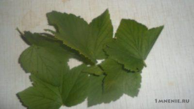 почему желтеют листья у смородины в июне что делать