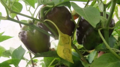 скручиваются листья у перца что делать