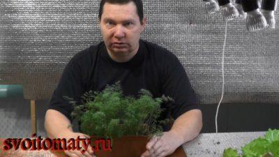 как посадить укроп на зиму