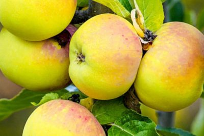 лучшие сорта яблонь для урала
