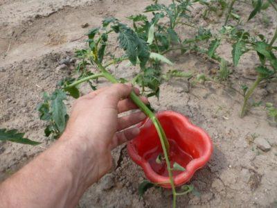 нужно ли пасынковать низкорослые помидоры