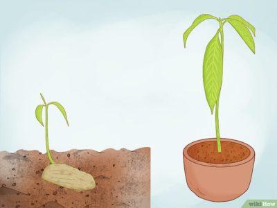 посадить черешню из косточки