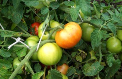 помидоры посадка и уход в открытом грунте