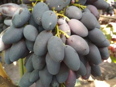 сорт винограда кармен
