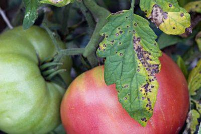 фиолетовые листья у помидоров что делать
