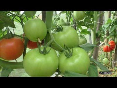 сорт томатов катя