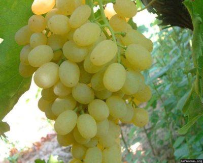 сорт винограда розмус