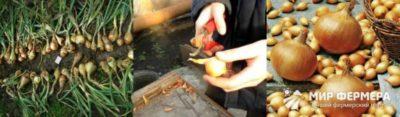 как правильно обрезать лук для хранения на зиму