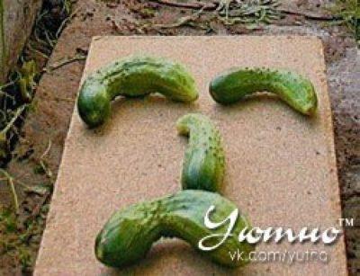 желтеют плоды огурцов что делать