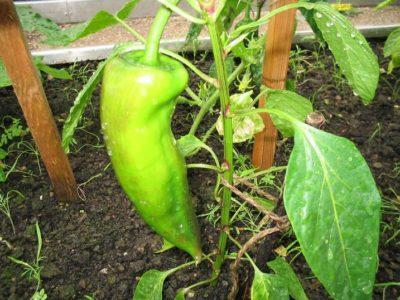 как ускорить рост рассады перца
