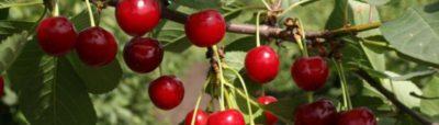 самоплодные сорта вишни