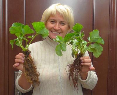 надо ли обрезать листья у клубники после сбора урожая