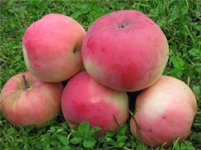 сорт яблони избранница