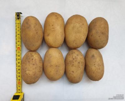 крупные сорта картофеля