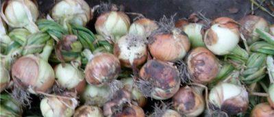 как часто поливать лук севок после посадки