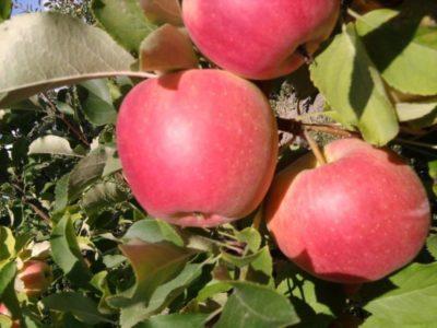сорт яблони орлик