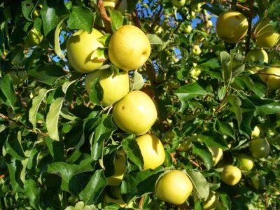 яблони низкорослые сорта